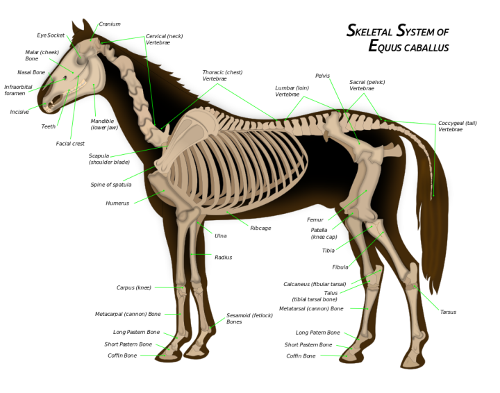 Horse_anatomy.svg.png