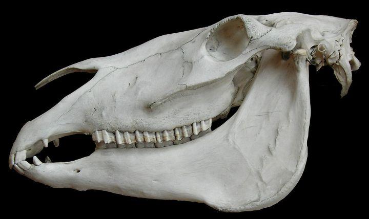 WikipediaSkull